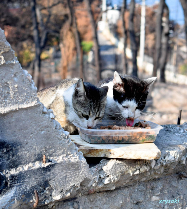 Two young cats being fed at the site of major fires in Attica