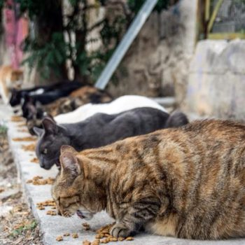 Cats lined up on the ground eating dry cat food.