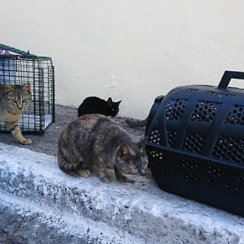 Several cats sit near the carrying cases that will take them to be neutered.