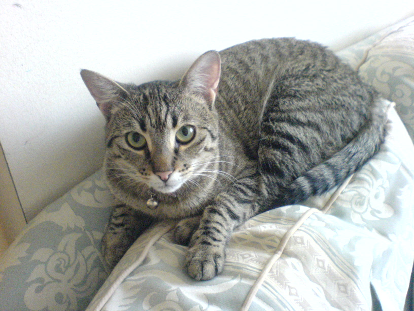 A tabby cat, found as kitten, looks at us from the back of a couch