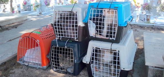 Cats from the cemetery sitting in cat cases on their way to the vet for neutering.