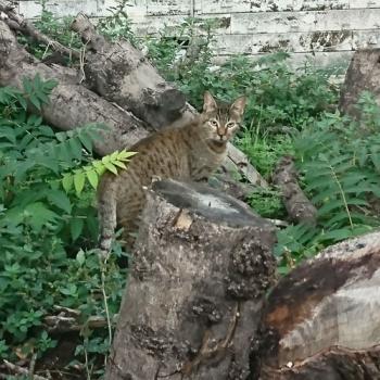 Η μαμά γάτα Willow, πίσω στην αποικία της μετά τη στείρωσή της