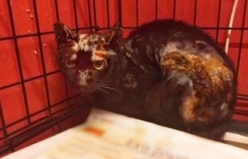 Μία σοβαρά καμένη γάτα κάθεται φοβισμένη στην άκρη του κλουβιού