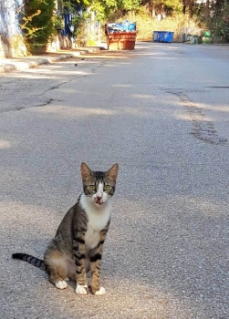 A friendly tabby with a white chest and paws sits in the road.