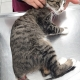 A tabby cat with severe injuries to his tail and spine at the vet's office.