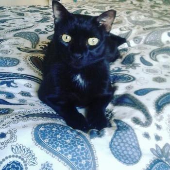 Μια μαύρη γάτα με γυαλιστερό τρίχρωμα μας κοιτάζει με τα κίτρινα μάτια της.