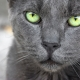 A beautiful grey cat with striking green/yellow eyes.