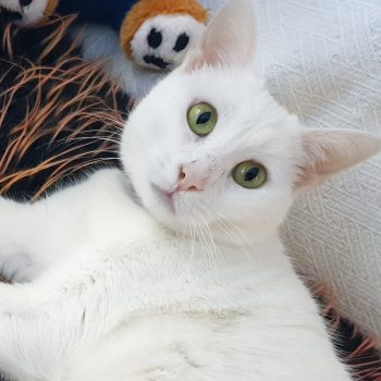 A soft white cat with striking green eyes.