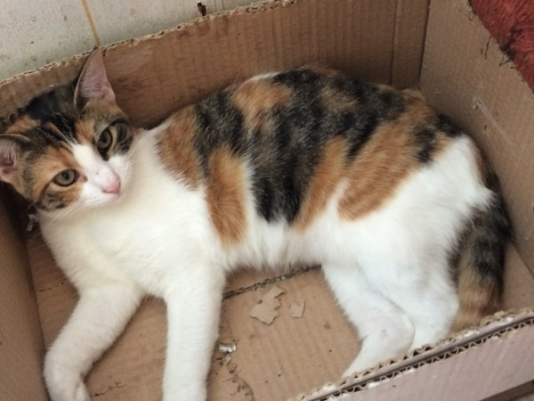 A sweet, young tri-colored cat sits in a cardboard box.