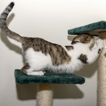 A young cat with white and tabby markings stands on one scratching post while sharpening her nails on another one