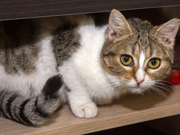 A beautiful tri-colored cat looking at us from a shelf.
