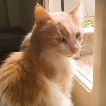 A beautiful, fluffy peach-colored and white cat sits next to a glass door.