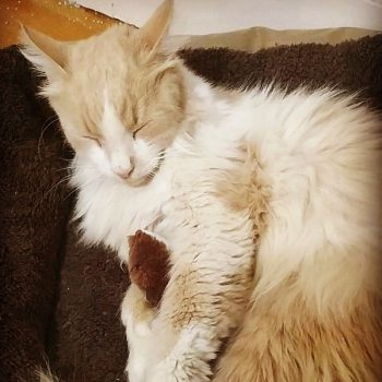 A white and peach-colored long-haired cat sleeps in a brown cat bed.