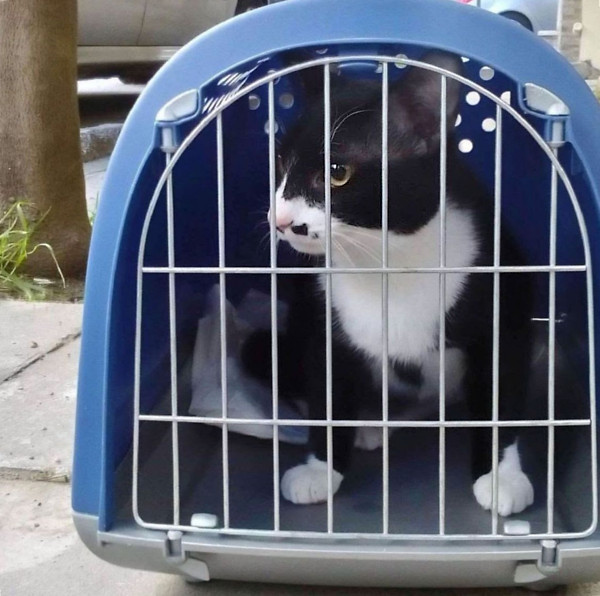 A black and white cat in a carrying case waiting to go to the vet to be spayed.