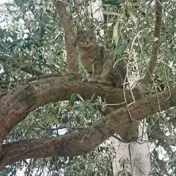 A tabby cat sitting in a tree.