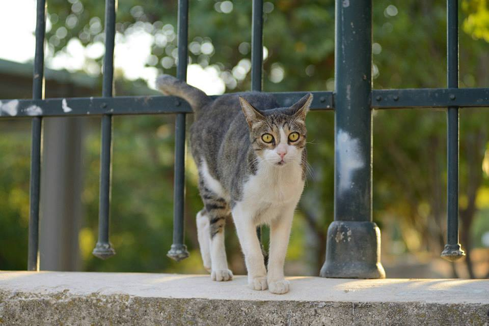 A tabby and white cat standing on a wall with a fence