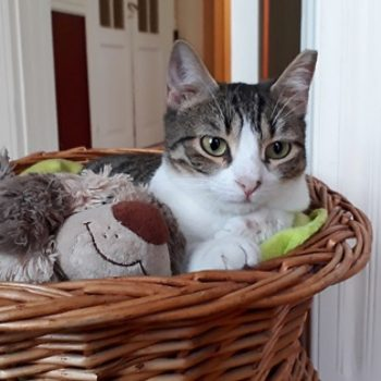 A young cat with white patches and tabby markings sits in a wicker basket next to a stuffed toy dog.