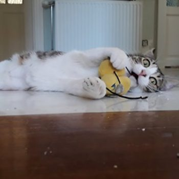 A young cat lying on the floor playing with a toy.