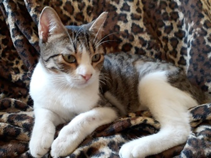 A young cat with white patches and tabby markings lies on a couch covered with an animal print cloth.