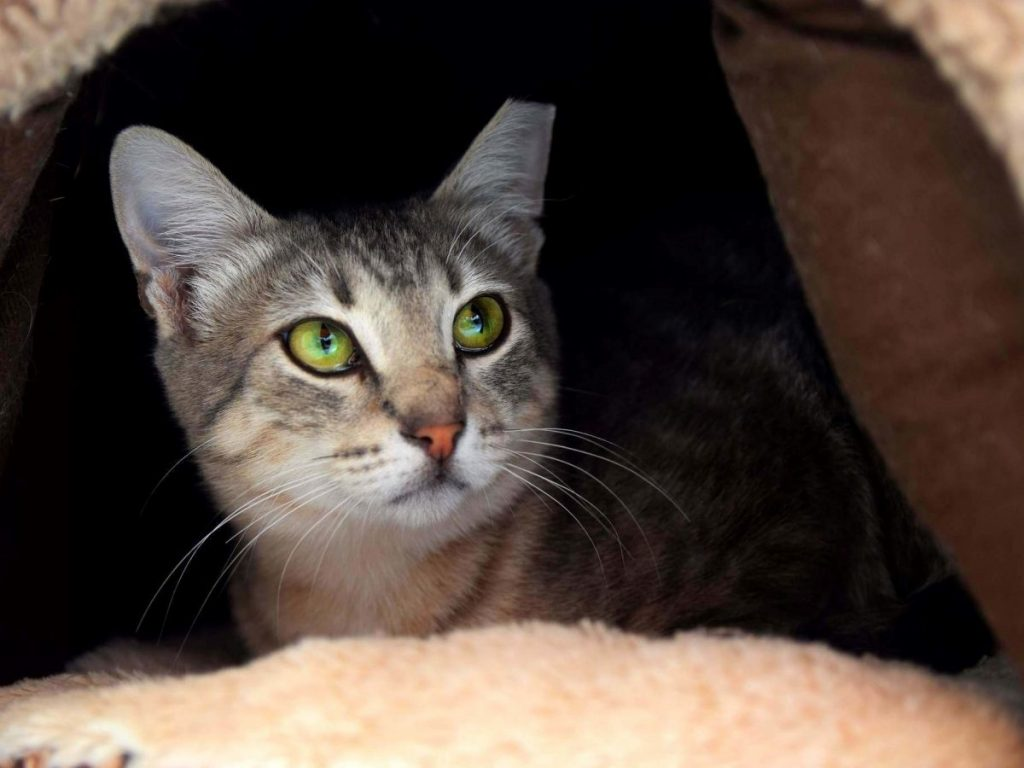 A gorgeous grey and brown tabby with wonderful emerald eyes is looking very focused while lying in a a brown cat cave that matches her fur.