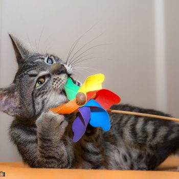 A tabby kitten with a bad eye plays with a colorful pinwheel.