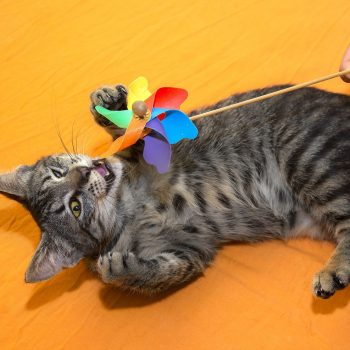 A tabby kitten lying on an orange bed play with a pinwheel