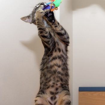 A tabby kitten standing on her hind legs to play with a toy.