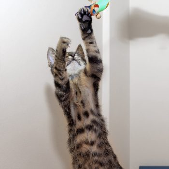 A tabby kitten on her back legs reaching in the air for a toy