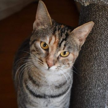 A young tabby cat with orange eyes is looking into the camera standing next to a scratching post.