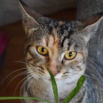 A close up of a young tabby cat with orange eyes smelling a plant.