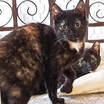 A tortoiseshell kitten standing in a window with another one peeking out from behind her.
