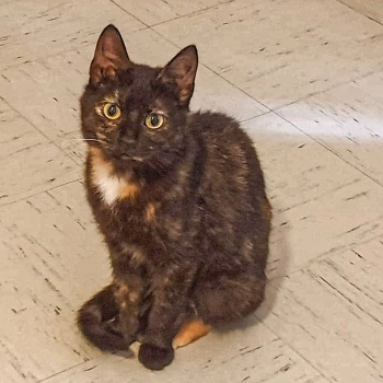 An adorable tortoiseshell kitten giving us a pleading look asking for a home.