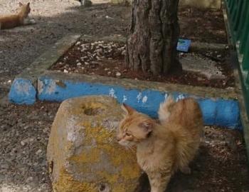 Ένας πορτοκαλί αδεσποτάκος περπατάει δίπλα σε μια μεγάλη πέτρα.