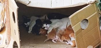 Αρκετές μαμάδες θηλάζουν με βάρδιες γατάκια μέσα σε ένα χαρτόκουτο.
