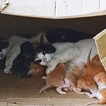 Several mama cats take turn nursing kittens inside a cardboard box.