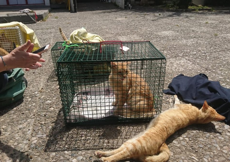 At a TNR effort. One ginger cat sits in a trap an another lies stretched out on the outside of the trap.