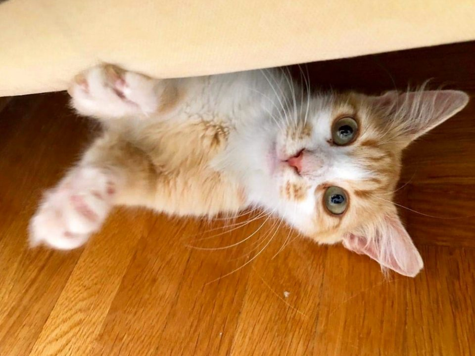 An orange and white cat peeking out from under a bed.