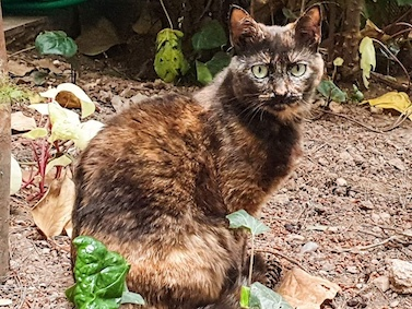 A tortoiseshell cat sitting in a yard.
