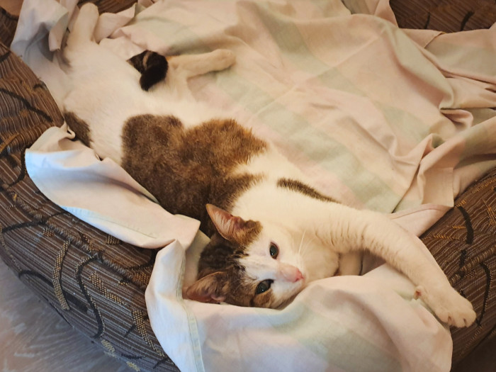A white and brownish cat stretched out in comfort on a cat bed