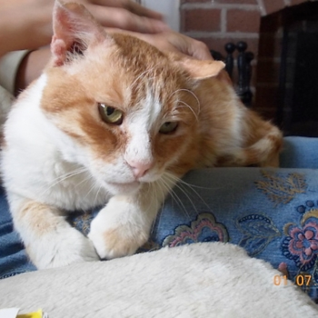 A white and ginger cat gets pats while sitting on a human's lap