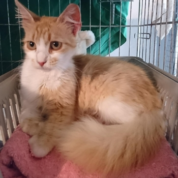 A gorgeous fluffy pale peach colored young who is cat ready to be adopted