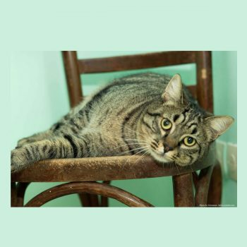 A tabby cat lying on a wooden chair.