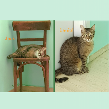 A double picture, one of Jack a tabby lying on a wooden chair, and one of Daniel sitting up on a marble floor.
