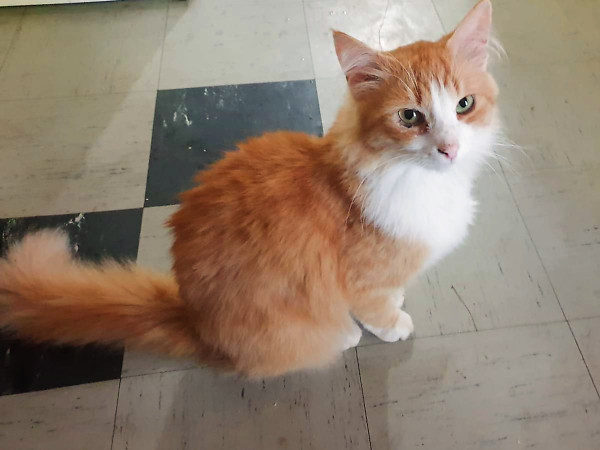 An orange and white cat with a beautiful, fluffy tail sits on the floor in a very regal pose.