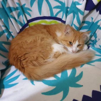 An orange and white cat is curled up on a turquoise and white chair