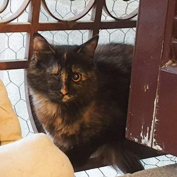 A one-eyed tortoiseshell cat watching us from a bench.