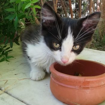 A small black and white kitten with pink nose and green eyes is looking into the camera while eating from a ceramic bowl.