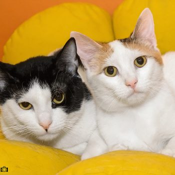 A black and white cat and an orange and white cat sit cuddled up together with a yellow and orange background.