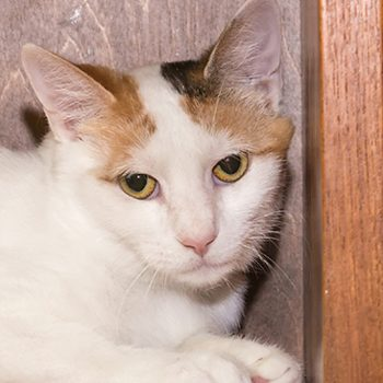 A headshot of a white cat with orange and black markings on her head.