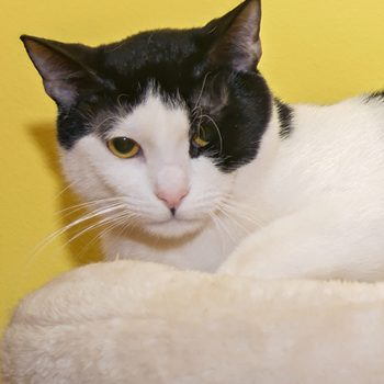 A black and white cat sitting on a perch with a yellow wall behind him.